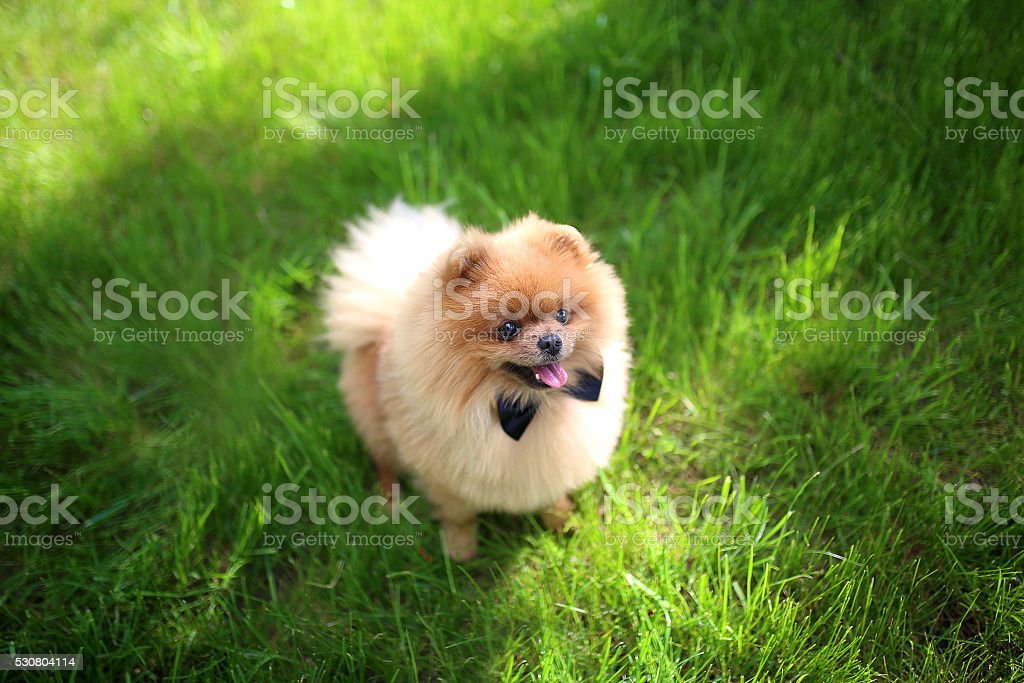 Must see Pomeranian Canine Adorable Dog - pomeranian-dog-on-green-grass-dog-outdoor-beautiful-dog-spitz-picture-id530804114  Pictures_358568  .com/photos/pomeranian-dog-on-green-grass-dog-outdoor-beautiful-dog-spitz-picture-id530804114