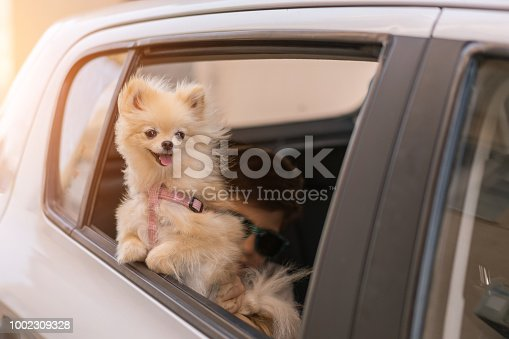 Pomeranian dog on the car window, going for travel
