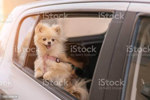 Pomeranian dog on the car window going for travel picture id1002309328?b=1&k=6&m=1002309328&s=612x612&h=1pmflvidmxwv woa5ilabkhrkzwrawqmienxeaxoetg=