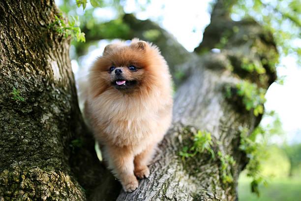 kleinspitz hund auf baum. schönen hund. spitz an der donau - zwergspitz stock-fotos und bilder