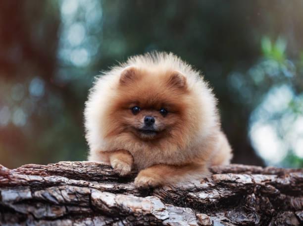 pommerschen hund im freien. porträt der schönen pommerschen hund. hund-print - zwergspitz stock-fotos und bilder