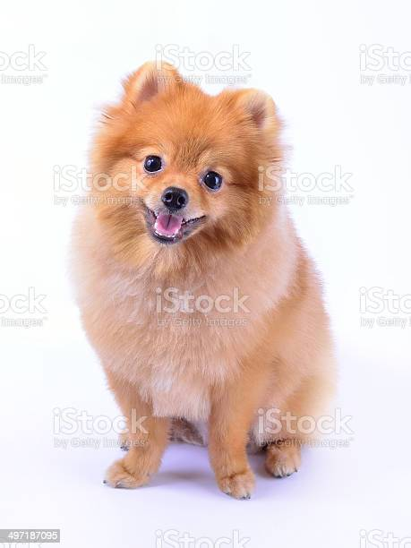 Pomeranian dog picture id497187095?b=1&k=6&m=497187095&s=612x612&h=edii 8fwry4d 4tqhphz4om3dmfma3hbg832iz34d 0=