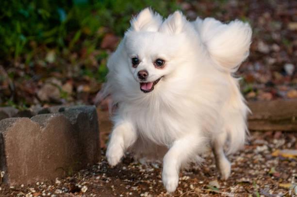 Pomeranian Dog stock photo