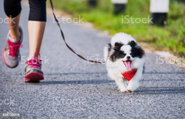 Pomeranian dog running exercise on the street park in the morning picture id838733078?b=1&k=6&m=838733078&s=612x612&h=cje1orybbn g9hqqhu2hjkrutbvj7nu8miq52nle4dc=