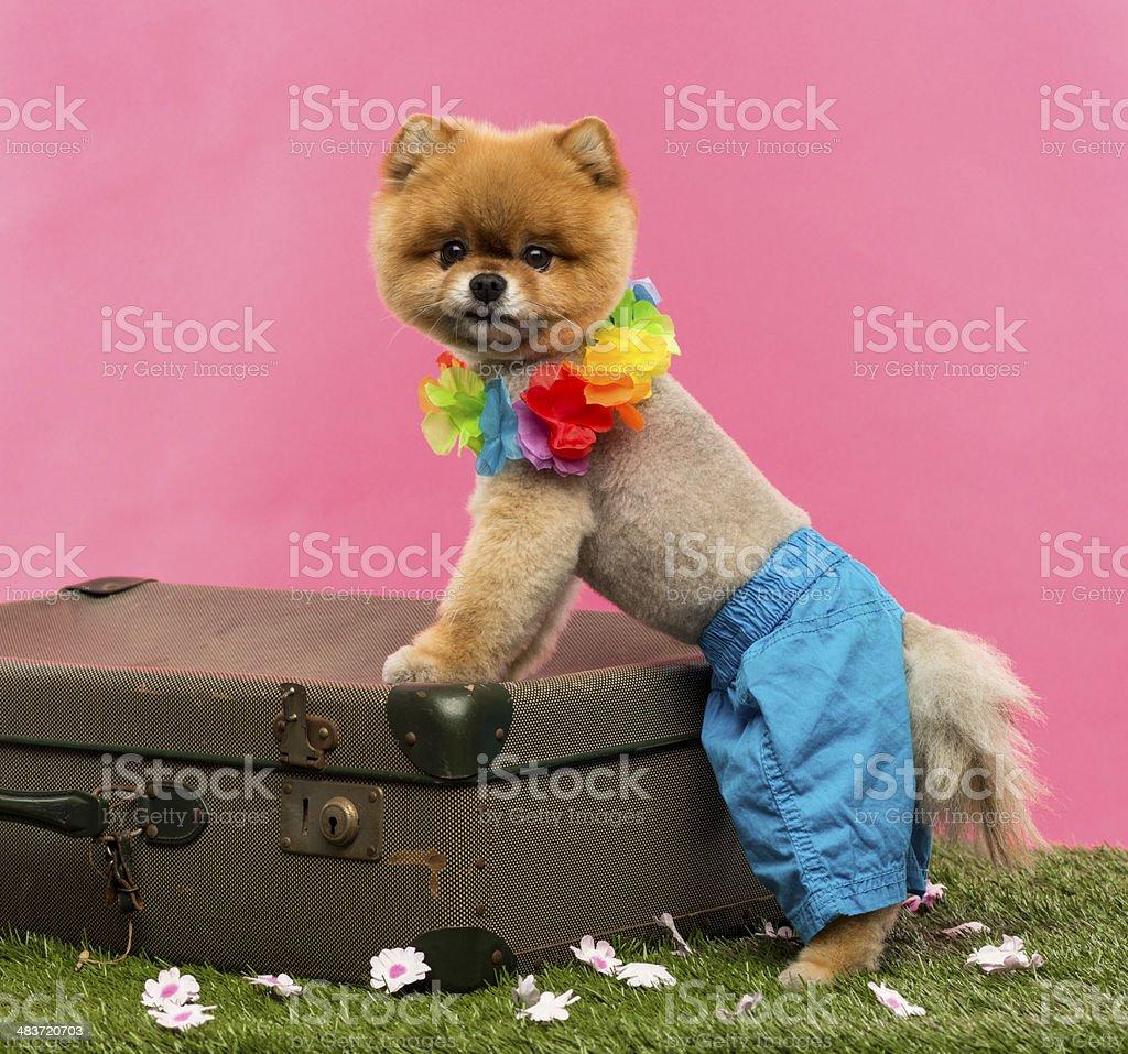 Pomeranian dog, shorts and Hawaiian lei, leaning on suitcase stock photo