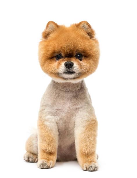 kleinspitz hund sitzend und blick in die kamera - zwergspitz stock-fotos und bilder