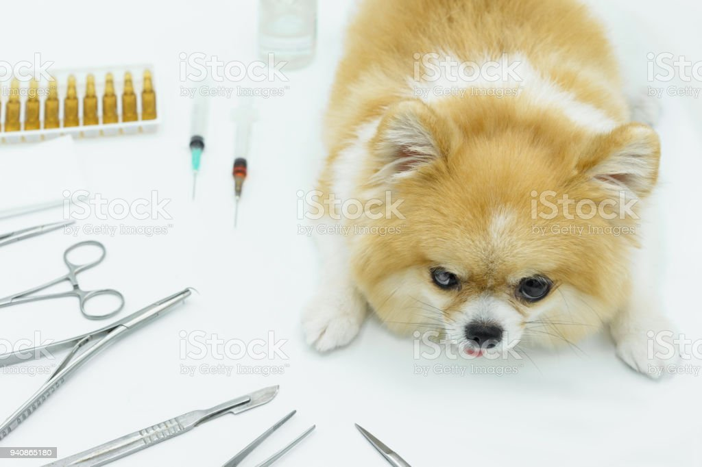 Pomeranian Dog Sitting On White Floor With Blur Surgical Materials