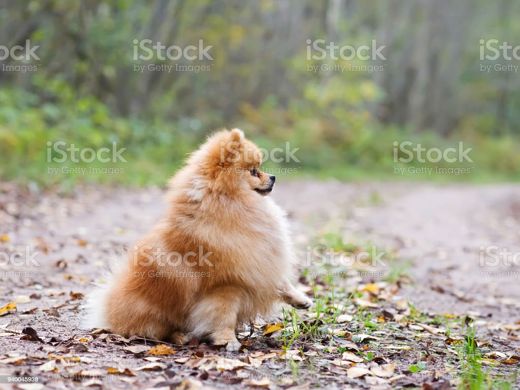 Pomeranian Dog Sitting With A Raised Paw Stock Photo More Pictures