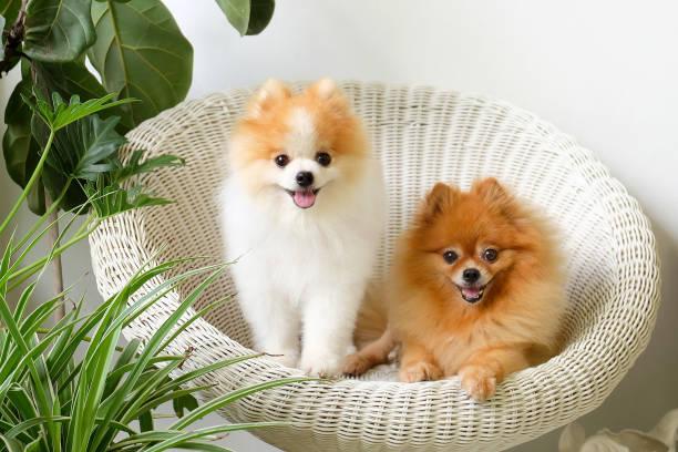 pommerschen hund lächeln, tier draußen glücklich spielen - zwergspitz stock-fotos und bilder