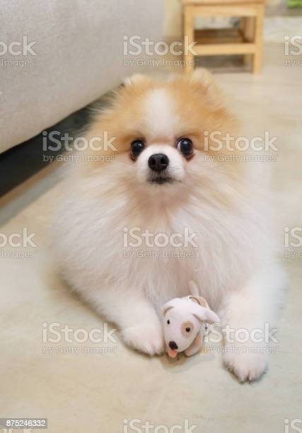 Pomeranian dog smileanimal playing outside smileshappy face picture id875246332?b=1&k=6&m=875246332&s=612x612&h=0i6ocmm4t2nrnvj5ln6ymhyv7hzbqhk 4kqhe7xbnrc=