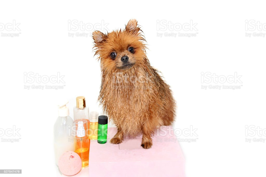 Pomeranian Dog Taking A Shower With Soap And Water. Royalty Free Stock Photo