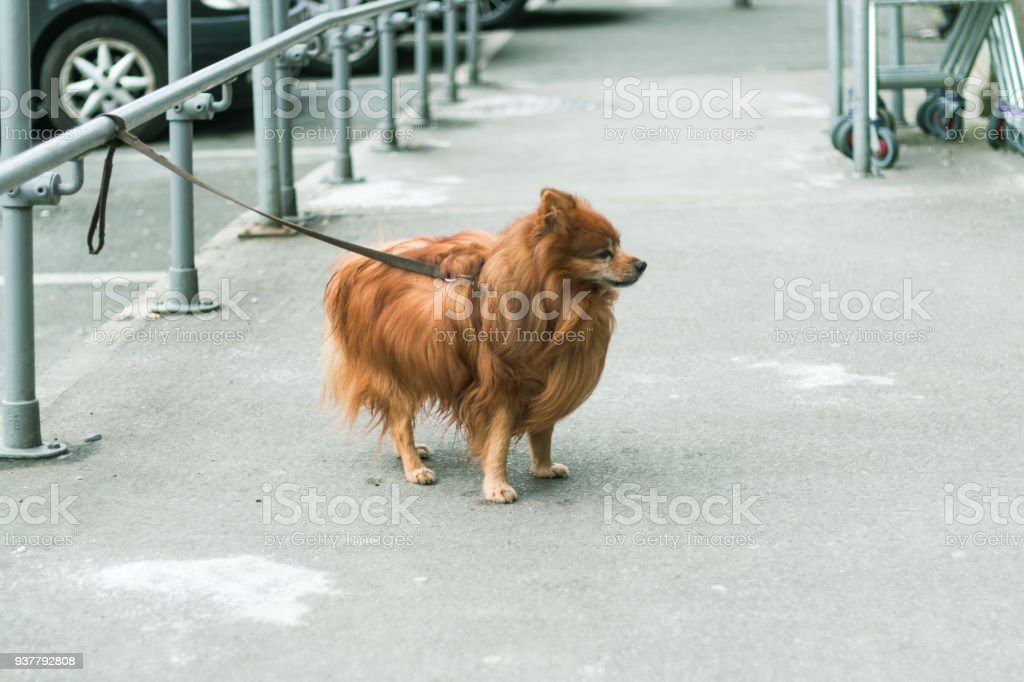 Pomeranian dog tied up outside a shop stock photo more pictures of pomeranian dog tied up outside a shop royalty free stock photo altavistaventures Images