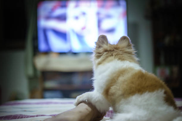 Pomeranian dog watching horror tv series so fear and touch the on picture id843549804?b=1&k=6&m=843549804&s=612x612&w=0&h=rze1ohgzssvuccljahibmc9ouo4uez7p9ujvvlx8oyo=