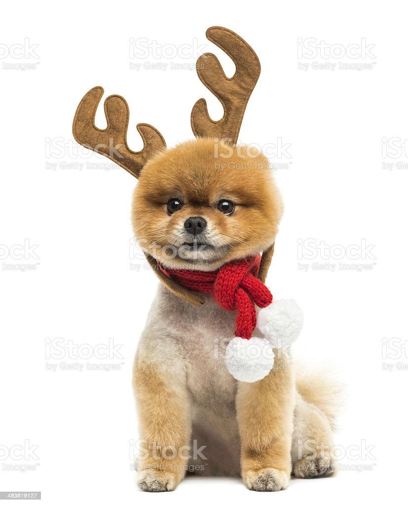 Pomeranian dog, wearing reindeer antlers headband and a Christmas scarf stock photo