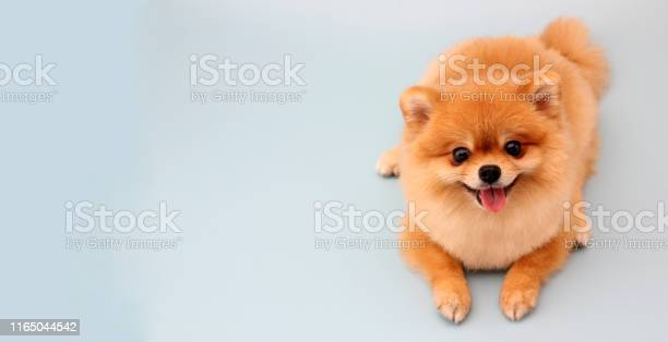 Pomeranian dog with blue backdrop picture id1165044542?b=1&k=6&m=1165044542&s=612x612&h=dywedylb83mh2e8aq1ir8ezcqdtvx4ncy o5ooawujq=