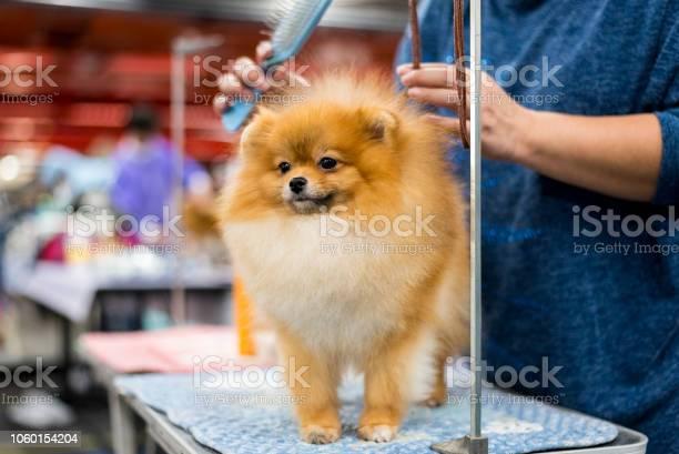 Pomeranian dog with red hair picture id1060154204?b=1&k=6&m=1060154204&s=612x612&h=0f0fg1il0utvdwpdlvx1otw3jiohbb2sic0zcndny0i=