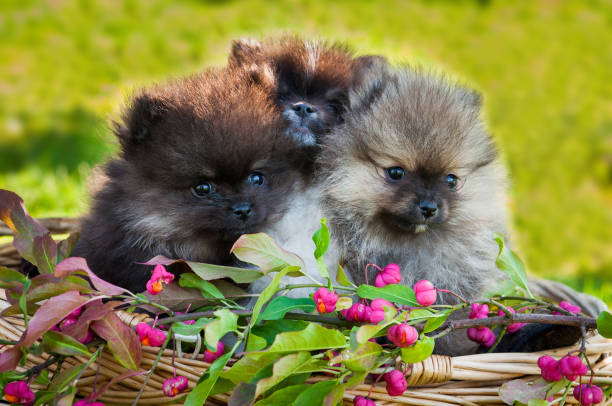 pomeranian dogs are sitting in the basket stock photo