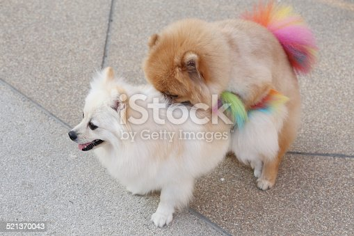 Pomeranian Dogs Mating Stock Photo  More Pictures Of -8805