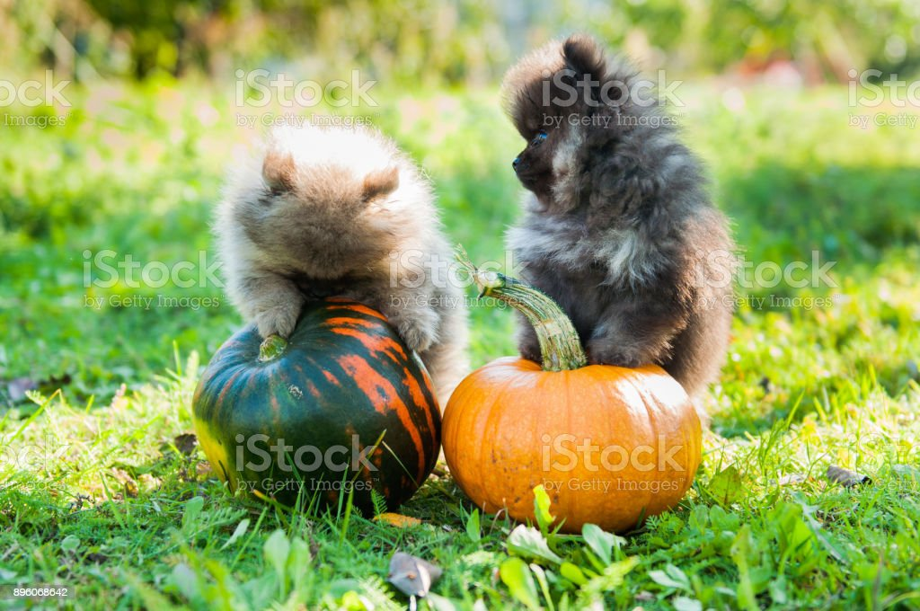 Pomeranian Dogs Puppies And Pumpkin Halloween Stock Photo More