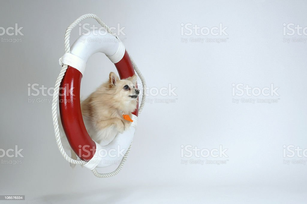 Pomeranian jumping through a Life-Ring stock photo