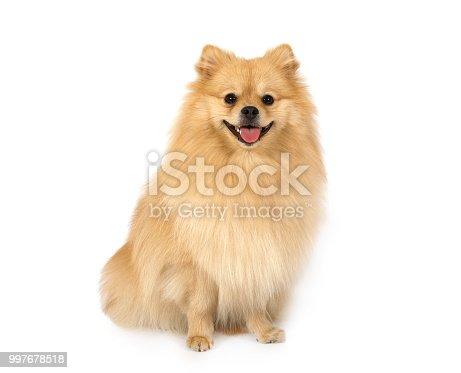 Studio shot of an adorable Pomeranian dog sitting on white background
