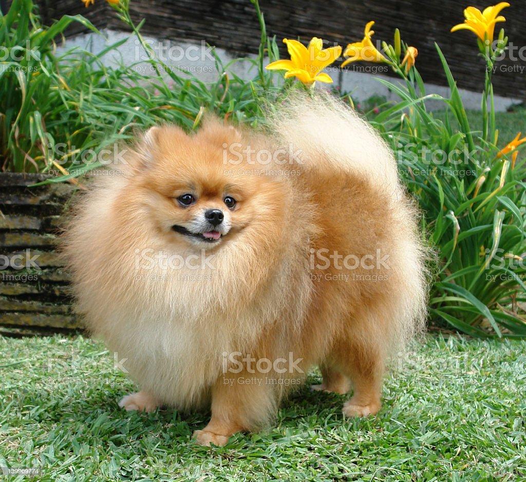 Pomeranian or german spitz stock photo
