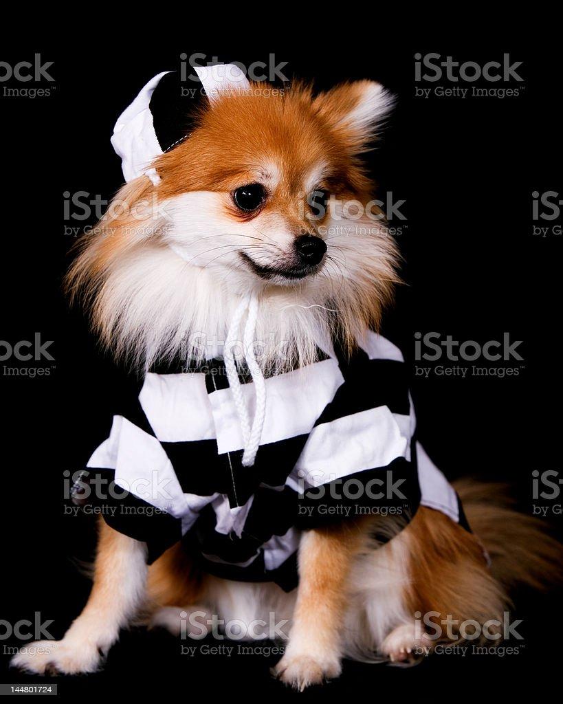 pomeranian prisoner stock photo & more pictures of animal | istock