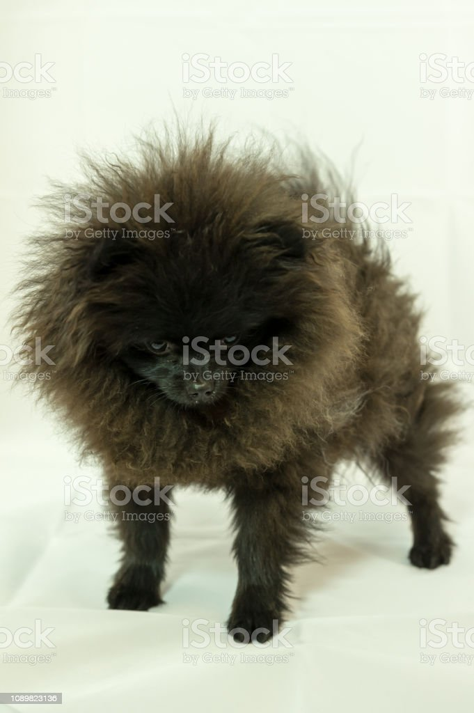 Pomeranian Puppy Black Stock Photo Download Image Now Istock