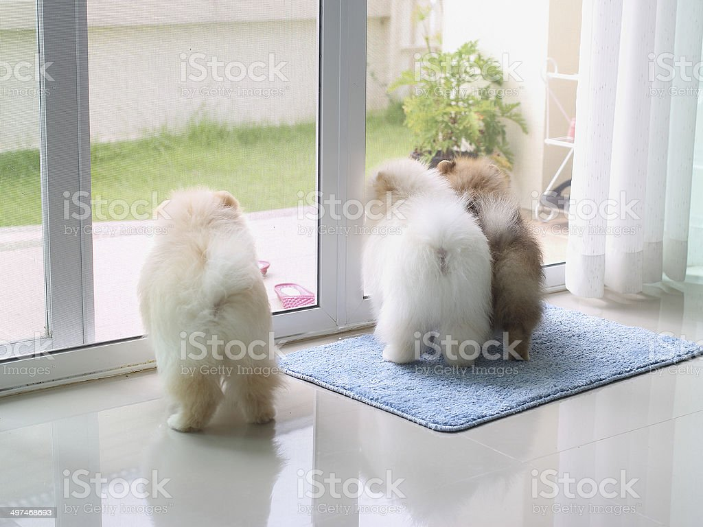 pomeranian puppy dogs in home royalty-free stock photo