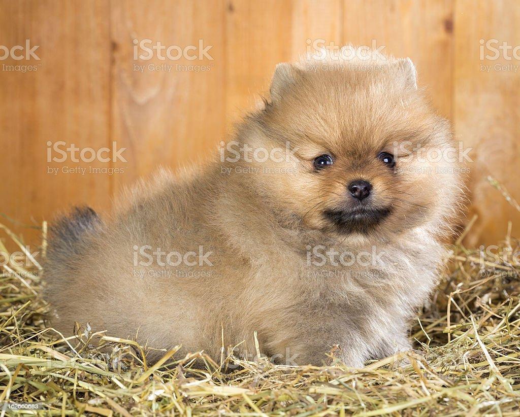 Pomeranian puppy on a straw royalty-free stock photo