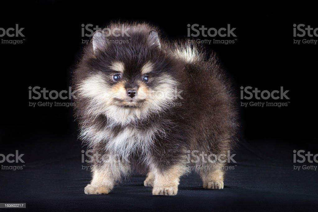 Pomeranian puppy royalty-free stock photo