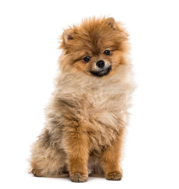 Pomeranian puppy sitting isolated on white picture id859706242?b=1&k=6&m=859706242&s=612x612&w=0&h=jfjrz2uec38dhtnsor0qaxnyf2w 3eqvcjp1ojriyss=