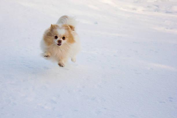 Pomeranian Running on Snow stock photo
