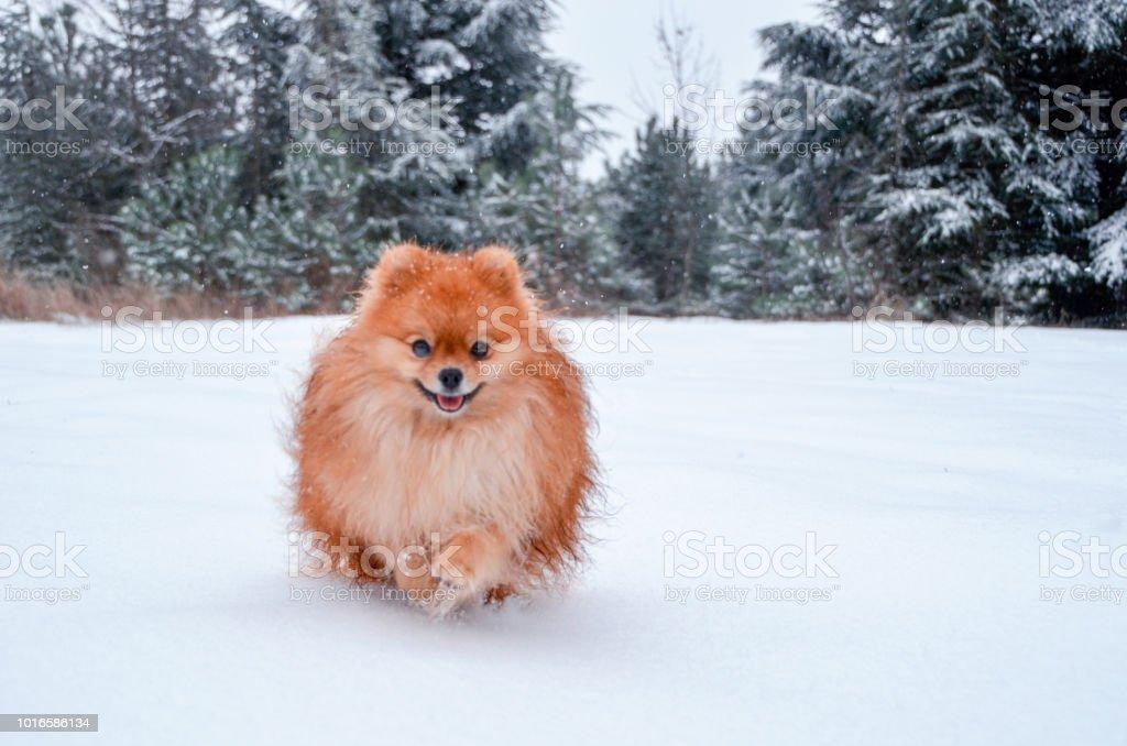 Pomeranian Spitz Läuft Ein Schöner Orangener Hund Durch Einen Tief
