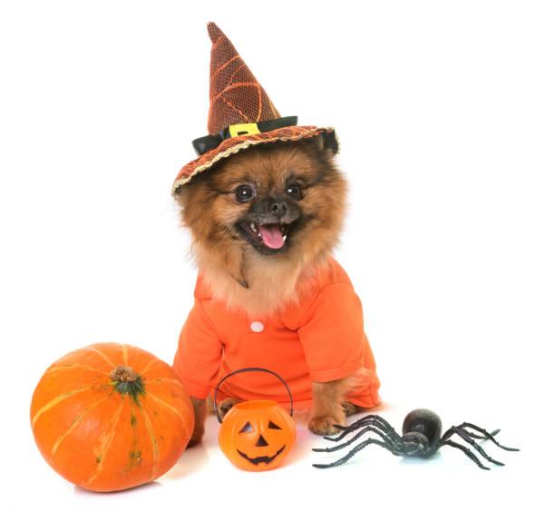 pommersche spitz und halloween - hund spinnenkostüm stock-fotos und bilder
