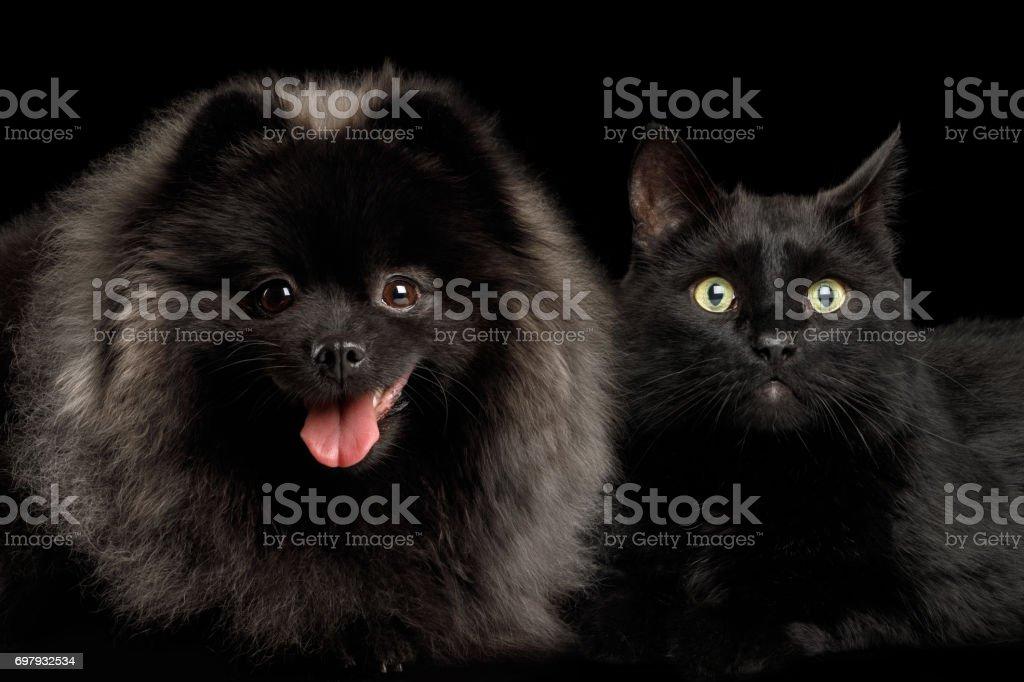 Pomeranian Spitz Dog and Cat on Black stock photo