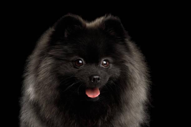 pommersche spitz hund auf schwarz - zwergspitz stock-fotos und bilder