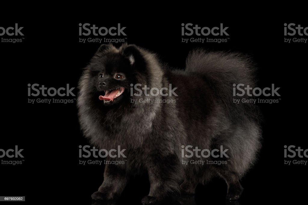 Pomeranian Spitz Dog on Black stock photo