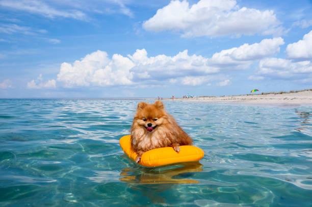 pomeranian spitz, schwebt orange hund am meer auf einer matratze in freude leben. - kleinspitz stock-fotos und bilder