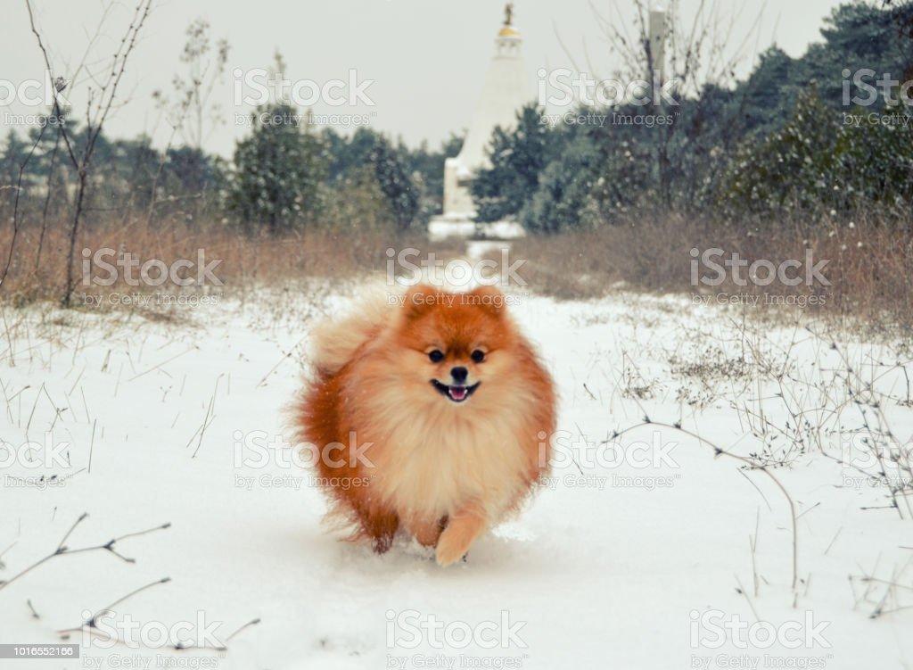 Pomeranian Spitz Orange Hund Läuft Durch Den Schnee Stockfoto Und