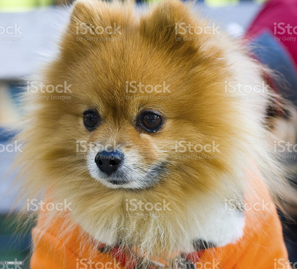 Pomeranian Spitz royalty-free stock photo