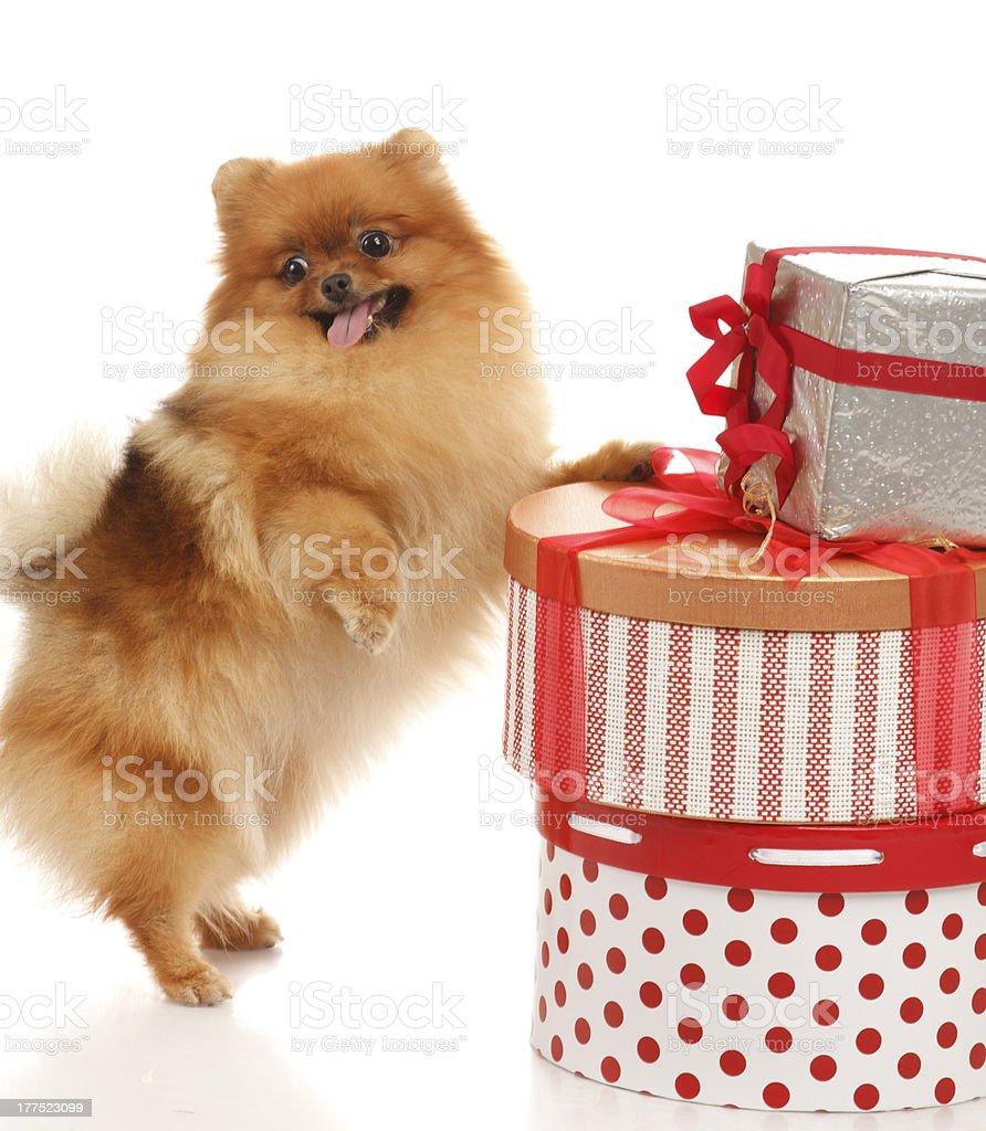 Pomeranian Spitz royalty-free stock photo
