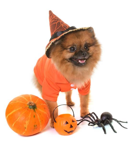 kleinspitz spitz - hund spinnenkostüm stock-fotos und bilder