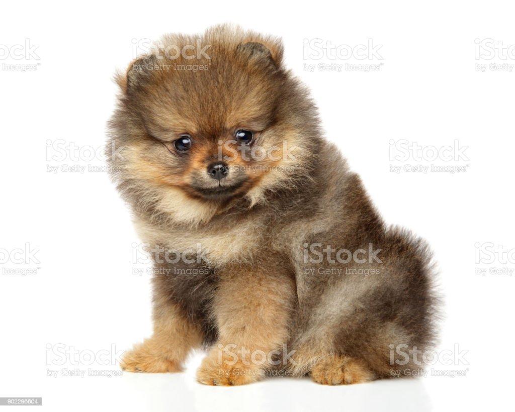 Pomeranian Spitz Puppy Baby Animal Theme Stock Photo More Pictures