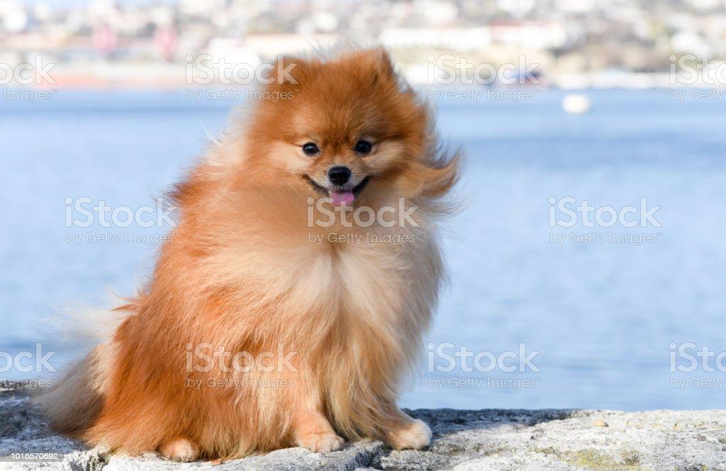Pomeranian Spitz Sitzt Auf Dem Hintergrund Des Meeres Der Hund