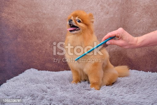 Pomeranian. The concept of the promotion of haircuts and care for dogs. Haircut Pomeranian dog hair with a special comb close up view