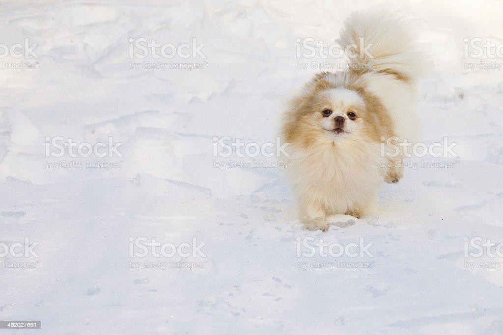 Pomeranian Walking in Snow stock photo