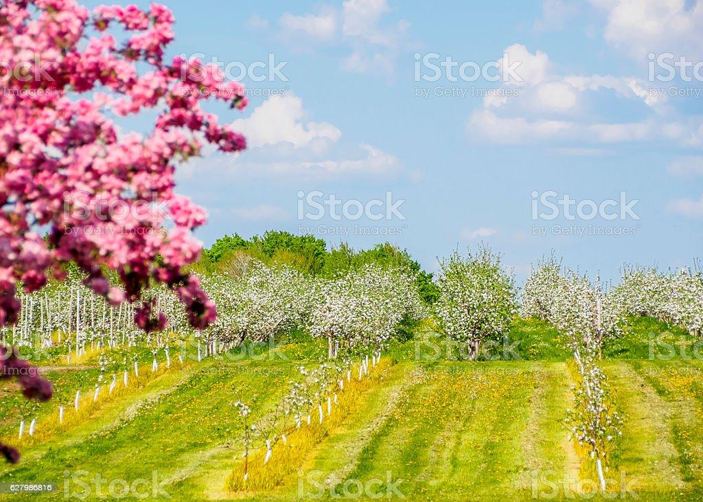 Pommiers du printemps stock photo