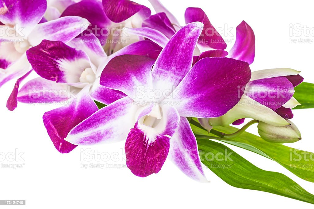 Pompadour  Orchid stock photo