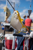 A pompano, sometimes called a Florida pompano, hangs from hook after being caught by fisherman on the pier in North Topsail Beach, North Carolina